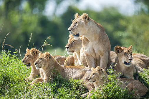 A moaning lioness with her cubs is resting on a small hill.